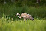 Immature sandhill crane