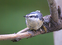 Nuthatch - Red-Breasted