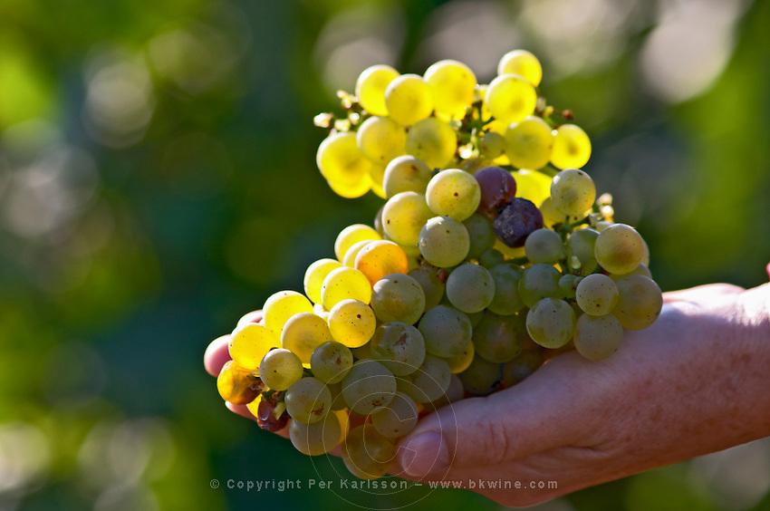 chardonnay meursault cote de beaune burgundy france