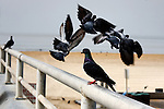 Bird - Pigeons forming a Halo, Wild Birds of Seal Beach, CA. Photo by Alan Mahood.