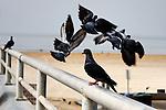 Bird - Pigeons forming a Halo, Wild Birds of Seal Beach, CA. Photo by Alan Mahood.