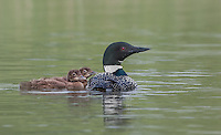 Alert great northern diver with its two chicks