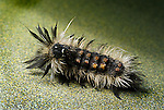 Yellow-haired dagger moth Acroricta impleta,