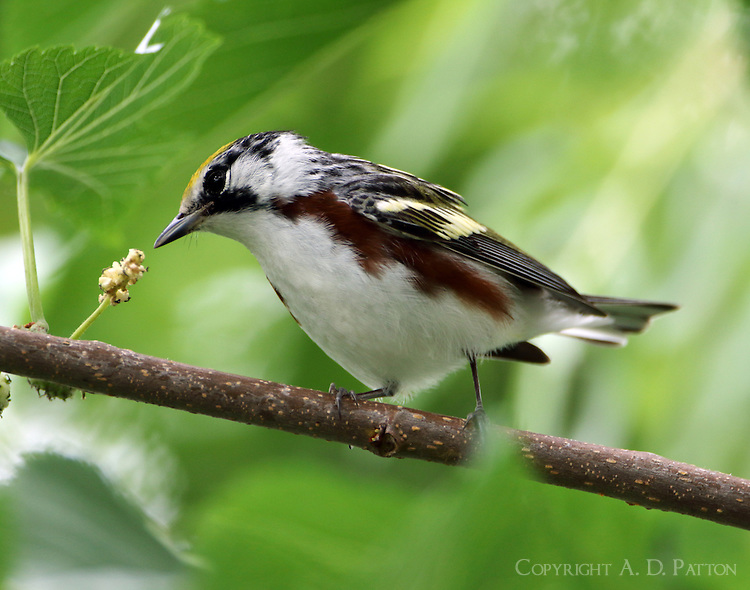 Male chestnut-sided warbler eating mulberry