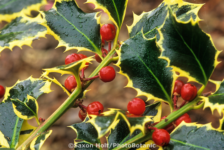 Ilex aquifolium 'Silver Trim' Variegated Holly with red berries