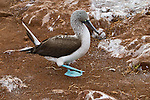 Blue-footed Booby strutting along in its typical clumbsy way, checking out the surroundings. Left foot is off the ground and in process of taking the next step.