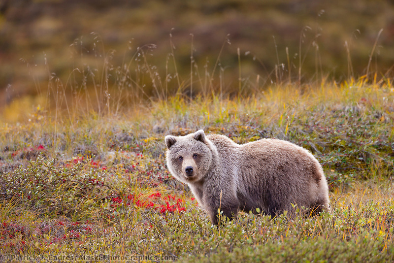 Young grizzly bear cub on the autumn tundra in Denali National Park