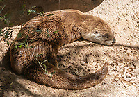 River Otter, Lutra canadensis, rests on a rock in the Arizona-Sonora Desert Museum, near Tucson, Arizona. (Captive)