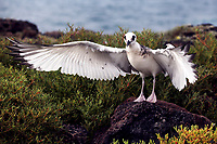 A juvenile swallow-tailed gull practices flapping its wings in preparation for flight on South Plaza Island in the Galapagos.