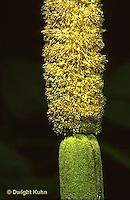CU01-020a  Cattail - close-up of flowers, male above, female below - Typha latifolia