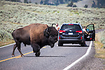 Tourists watch as a bison, or American buffalo, bull crosses 212, North East Entrance Road, the near the Yellowstone River, between Tower Junction and Lamar Valley, Yellowstone National Park, Wyoming. There's around 3,700 bison the park, of the Plains Bison subspecies. Yellowstone may be the only place where bison have not been hunted out of existence,  although the population plummeted due to poaching at the turn of the 20th century.   The population is still under threat - when they roam outside the park boundaries, and from claims that they transmit disease such as bas brucellosis to  cattle.