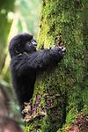 Gorilla baby climbing in a tree. Wildlife, Rwanda | Gorilla baby som klatrer i et tred. Ville dyr, Rwanda.