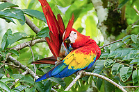 scarlet macaw, Ara macao, preening, Alajuela Province, Costa Rica, Central America
