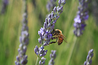 Apis mellifera on lavander