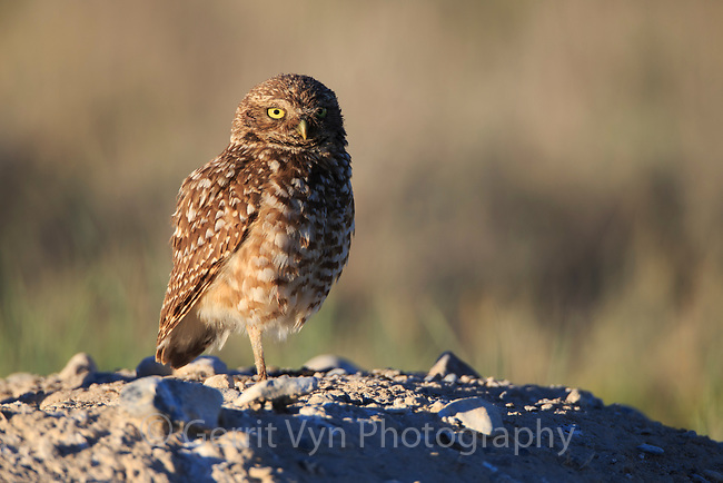 Burrowing Owl (Athene cunicularia) standing outside nest burrow in sagebrush country. Idaho. July.