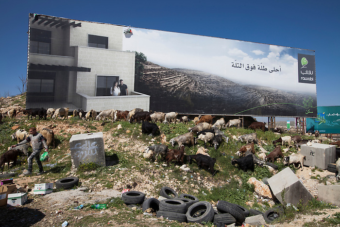 March 2013, Qalandya, West Bank. A Bedouin shepherded in front of a giant advert for the new planned city of Rawabi. In this area, controlled by the Israeli Army (C zone, 67% of the West Bank), there is no civilian control of the Palestinian Authority, since Oslo agreements of 1994. These urban zones therefore become chaotic with no civil management, criminal are pretty much free and trash is spread everywhere. The poorest populations are usually concentrated in the C zone, and amongst other the Bedouins are the people with most humanitarian issues in the West Bank.
