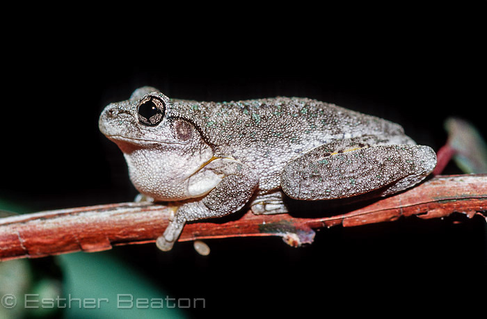Peron's Tree Frog (Litoria peronii) male calling at night from branch of eucalypt tree, Gundagai area, NSW