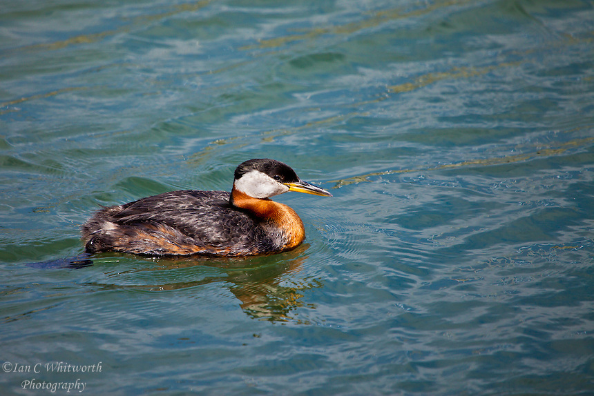 One of the Red Necked Grebes in Bronte Harbour Oakville