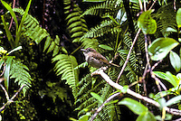 The Puaiohi or Small Kauai Thrush (myadestes palmeri) found in the Alakai swamp on Kauai