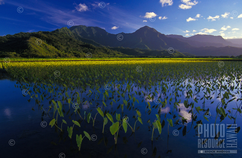 Hanalei National Wildlife Sanctuary with taro, loi ponds and mountains in background