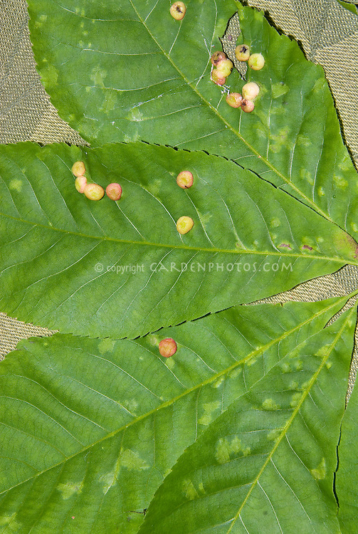 Plant problem disease pest LEAF GALL on leaves, round masses, closeup macro