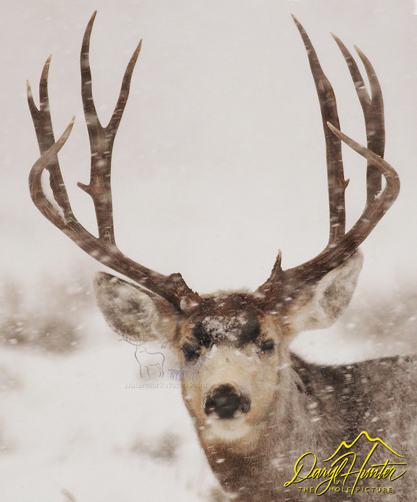 Big Buck, Mule Deer, Snowstorm, Jackson Hole, Wyoming