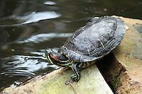 Stock photo: Black river turtle turning head up standing on rocks near a pond in the callaway gardens Georgia, USA.
