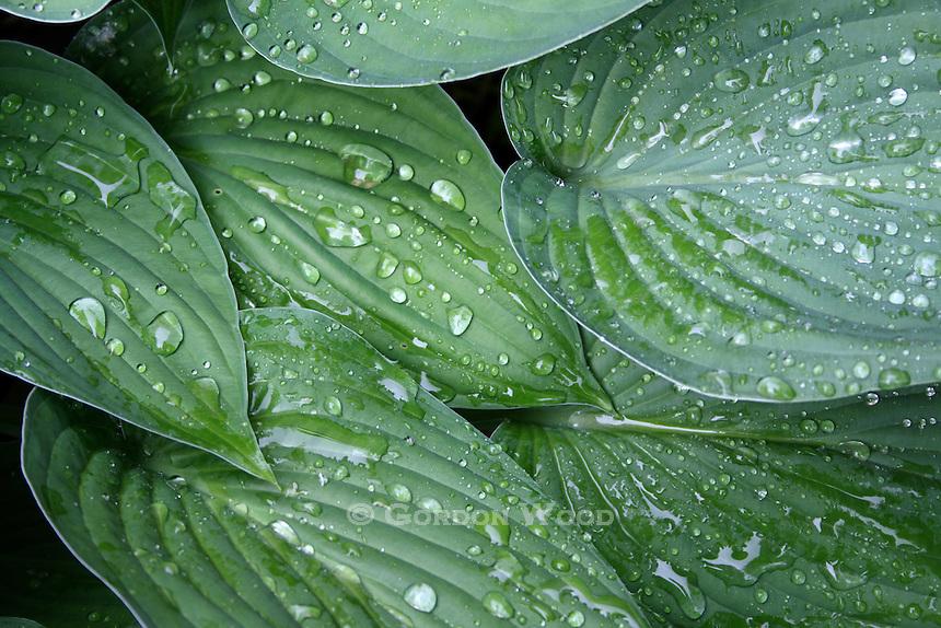 Hosta Leaves with Rain Drops