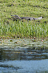 Brazoria County, Damon, Texas; an adult American Alligator (Alligator mississippiensis) warming itself in the sun, while resting on the bank of the slough with it's mouth open
