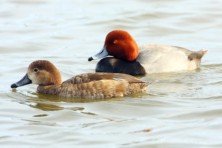 Redhead pair in breeding plumage