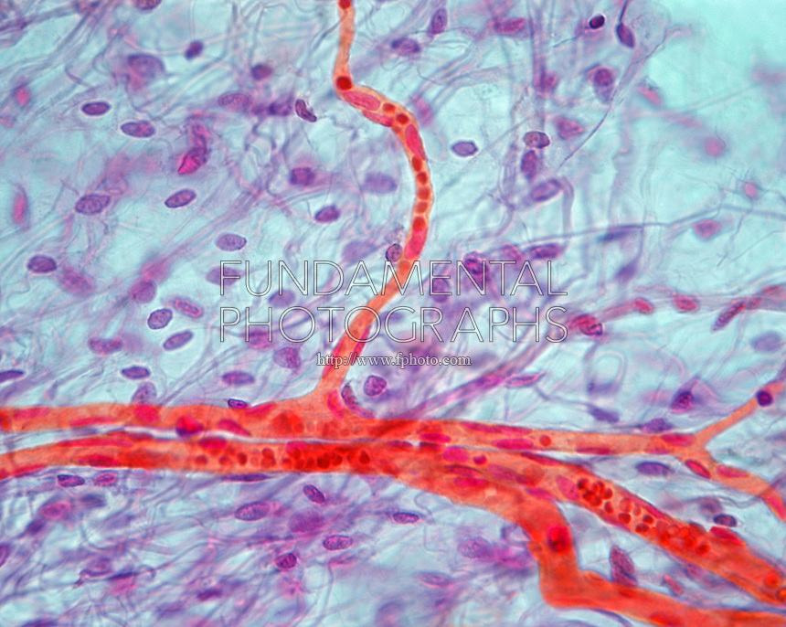 CAPILLARY<br /> Capillary Branch, LM 400x mag<br /> Light microscope image of loose connective tissue showing a network of branching capillaries.  Inside of capilliaries are red blood cells and endothelial cell nuclei.