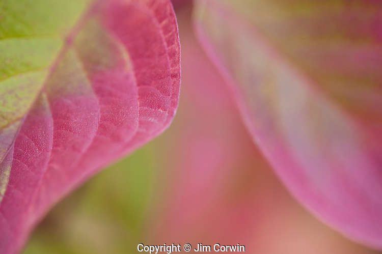 Pacific Dogwood leaves close up turning in autumn fall colors