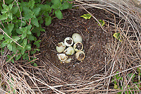 Duck's nest after mallard ducklings have hatched from their shells with down feathers and twigs for warmth in Swinbrook, the Cotswolds, UK