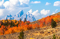Aspens of orange, red, and gold and the Grand Tetons from Bridger Teton National Forest in Jackson Hole Wyoming