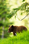 A cinnamon-colored black bear cub in the Callahan Valley area of British Columbia, Canada, on June 24 2011. Photo by Gus Curtis.