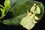 Leaf insect, Indonesia