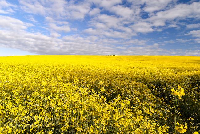 A water tank in a field of mustard, Oregon