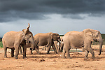Elephant herd, Loxodonta africana, Addo Elephant National Park, Eastern Cape, South Africa