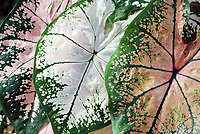 Gorgeous soft pink and white caladium plant leaves - Free nature stock image.