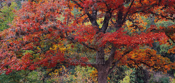 Red Maple, (Acer rubrum) , Lost Maples State Park, Texas, USA