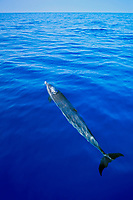 pantropical spotted dolphin, spouting, Stenella attenuata, off Kona Coast, Big Island, Hawaii, Pacific Ocean