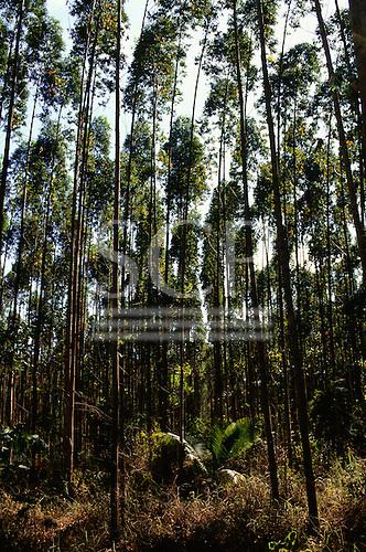 Espirito Santo State, Brazil. Rows of eucalyptus trees.