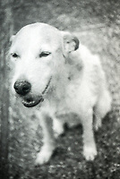 Willow the dog, Photo taken with 1952 vintage Kodak Signet 35, 35mm film camera on Kodak Tri-X black and white film, Holly Hill, Fl, July 2017.  (photo by Brian Cleary/bcpix.com)