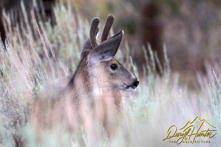 Mule Deer, spike, Sierra Nevada Mountains, Bridgeport, California