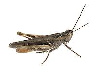 Common Field Grasshopper male - Chorthippus brunneus