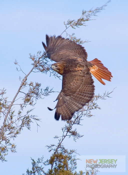 Red tailed Hawk, in flight, Cape May, New Jersey