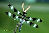 1O05-012z  Skimmer Dragonfly - Twelve spotted Skimmer male - Libellula pulchella