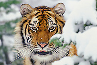 Siberian Tiger (Panthera tigris altaica), Endangered Species.  Winter.