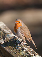 Robin {Erithacus rubecula} Perched on a Fence at Pulborough Brooks, West Sussex