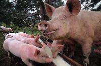 France/06/Alpes Maritimes/Arrière Pays Nicois /environs de St Martin la Vésubie/Parc du Mercantour: Cochons élevé au petit lait issu de la fabrication du fromage à la vacherie de Colmianes